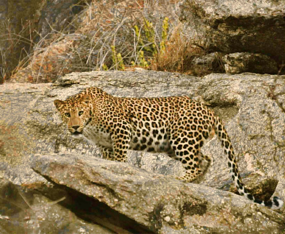 A leopard spotted while on private jeep safari in, Jawai Bandh, Rajasthan