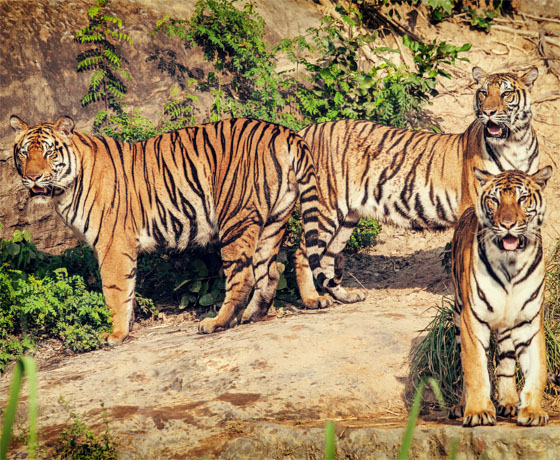 Tigers in the Ranthambore forest as seen on safari in Sawai Madhopur with Rajasthan Tours