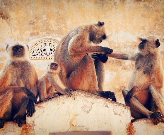 Monkeys at Ranthambore Fort, Sawai Madhopur