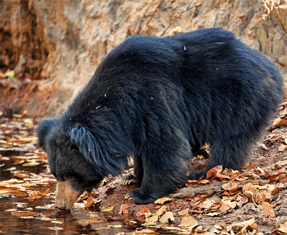 Sloth bear drinking water just one of the many sightings at Ranthambore National Park, Sawai Madhopur